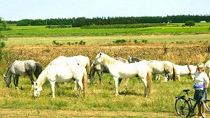 White horses in the Camargue, photo by Buck Maguire