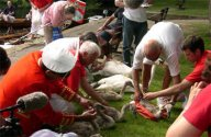 Here the cygnets have been caught and are weighed in a red bag before being marked and returned to the river